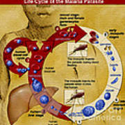 Malaria Parasite Life Cycle Poster by Science Source