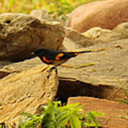Male American Redstart On The Rocks Poster