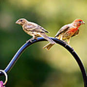 Male And Female House Finch Poster