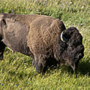 Male Bison Grazing  Poster