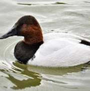 Male Canvasback Duck  Poster
