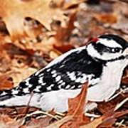 Male Downy Woodpecker 4 Poster