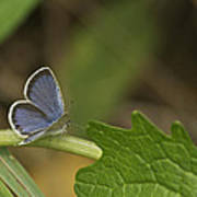 Male Eastern Tailed Blue Butterfly 3063 Poster