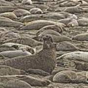Male Elephant Seal Barking Amidst Poster