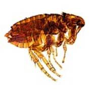 Male Flea, Light Micrograph Poster