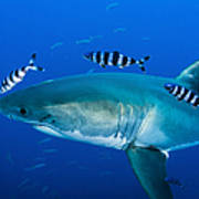 Male Great White Shark And Pilot Fish Poster