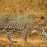 Male Leopard Poster