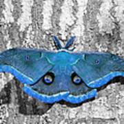 Male Moth Light Blue Poster