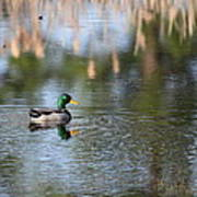 Mallard - Duck - Lonely Guy Poster