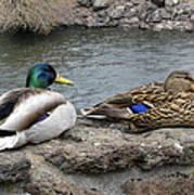 Mallard Duck Couple Poster