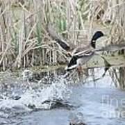Mallard Duck Flying Poster