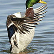 Mallard Duck Having A Flapping Good Time Poster