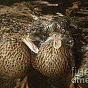 Mallard Ducks Underwater Poster