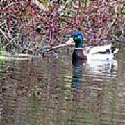 Mallard On A Pond Poster