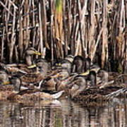 Mallards - Under Mothers Wing Poster