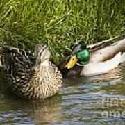 Mallards Nesting Poster