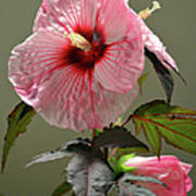 Mallow Hibiscus Poster
