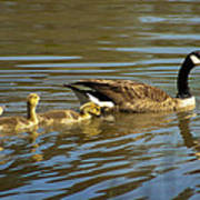 Mama Honker And Goslings Poster