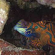 Mandarinfish Sheltering Amongst Rocks Poster