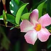 Mandevilla Pink Poster