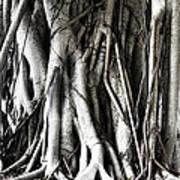 Mangrove Tentacles  Poster by Douglas Barnard