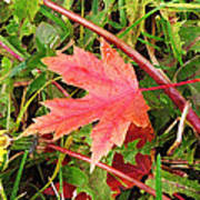 Maple Leaf Forever Poster