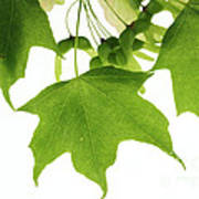 Maple Leaves And Seeds Poster