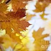 Maple Tree In Autumn Poster