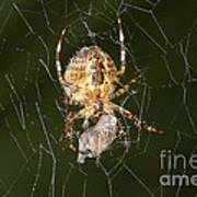 Marbled Orb Weaver Spider Eating Poster