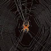 Marbled Orb Weaver Spider Poster