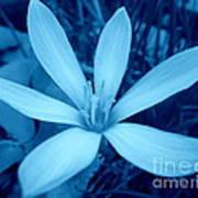 Marsh Grass Flower In Blue Poster