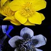 Marsh Marigold In Uv Light Poster by Cordelia Molloy