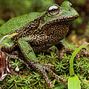Marsupial Frog Gastrotheca Sp, A Newly Poster