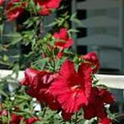 Martha's Vineyard Red Hibiscus And Porch Poster