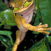 Masked Treefrog Poster