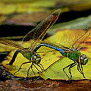 Mating Dragonflies Poster