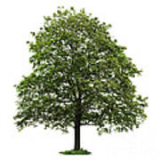 Mature Maple Tree Poster