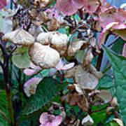 Mauve Hydrangea In Fall  Poster