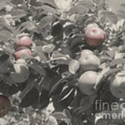 Mcintosh Apples In Partial Color Poster