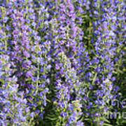 Meadow Sage Flowers Poster