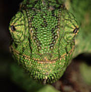 Mediterranean Chameleon Chamaeleo Poster