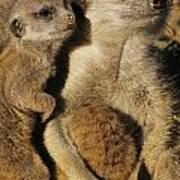 Meerkat Pups With Their Caretaker Poster