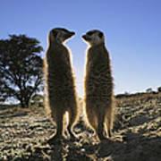 Meerkats Start Each Day With A Sunbath Poster