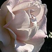 Memorial Rose Poster