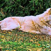 Menominie Park Grey Wolf Poster