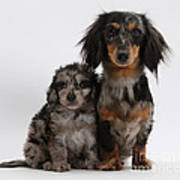 Merle Dachshund And Doxie Doddle Pup Poster