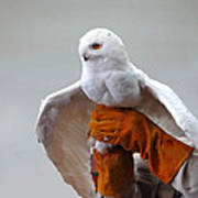 Message Snowy Owl Poster