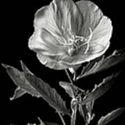 Mexican Evening Primrose In Black And White Poster