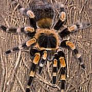 Mexican Red-legged Tarantula Poster