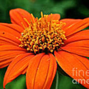 Mexican Sunflower Poster